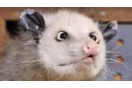 Virginaopossums