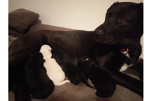 Kanadischer Schäferhund/Labrador/