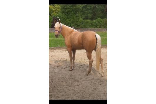 Bildhübsche Quarter Horse-