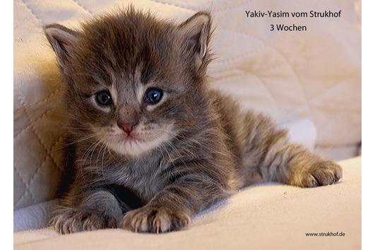 Norwegische Waldkatzenbabys vom