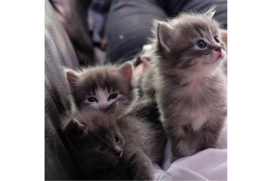 Ragdoll-Kitten-Mix
