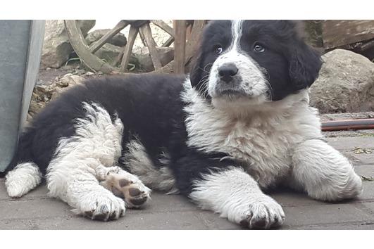 Neufundländer Pyrenäenberghund Mischlingswelpen,
