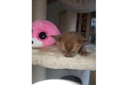 Burma Katze Kitten