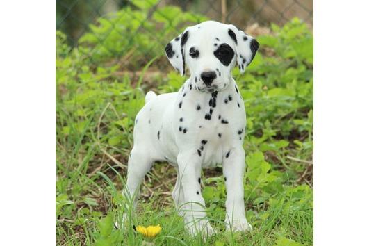 Dalmatiner Welpen mit