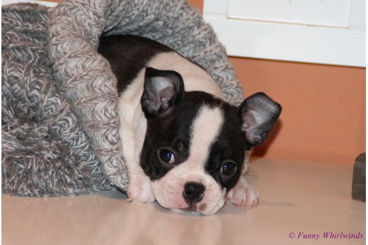 BEZAUBERNDE BOSTON TERRIER