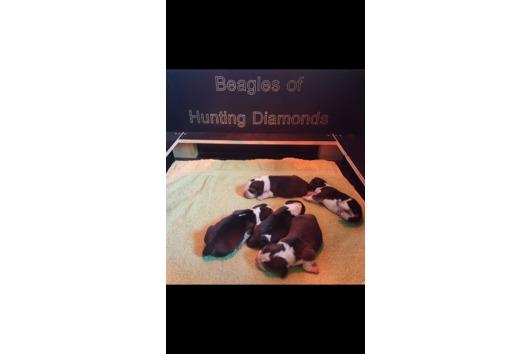Beagle Welpen mit