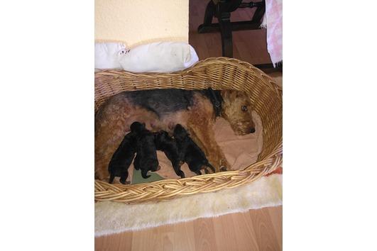 Welsh Terrier Welpen