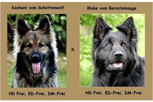Wurfankündigung Altdeutscher Schäferhund