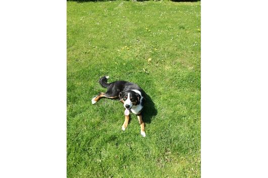 Appenzeller Sennenhund Welpen