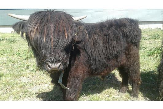 Schottische Hochlandrinder Highland