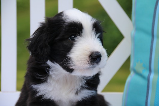 Bearded Collie Welpen,