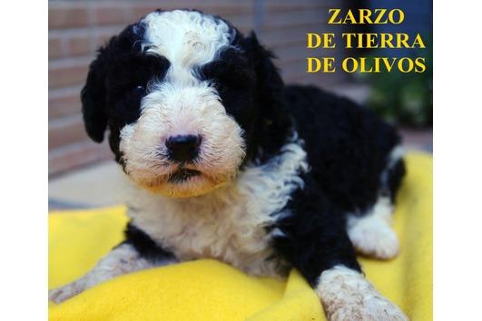Spanische Wasserhunde mit