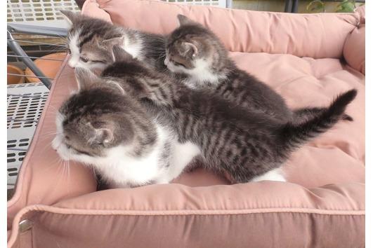 Kitten Ägyptische kurzhaar