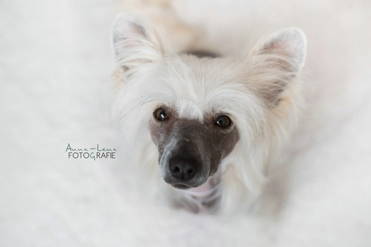 Toller Chinese Crested