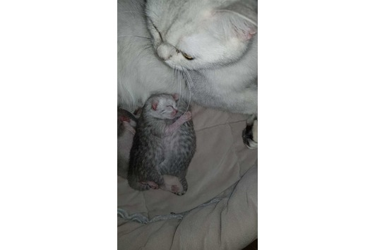 BKH Kätzchen sind