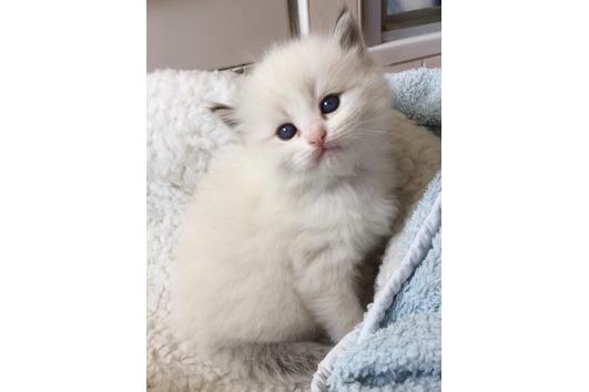 Wunderschöne Neva Kitten