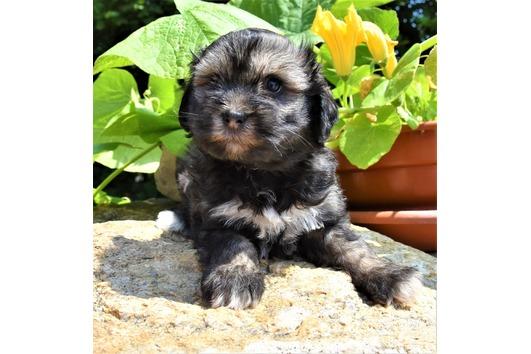 2 Tibet Terrier