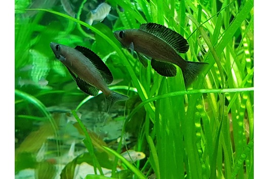 Cypricromis microlepidotus black