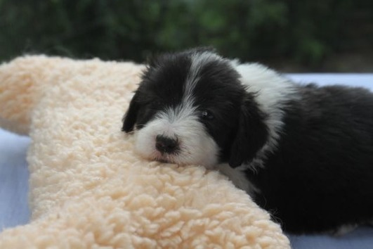 Bearded Collie-Rasselbande
