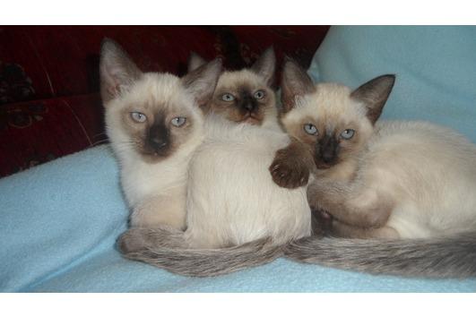 Siam Kätzchen suchen