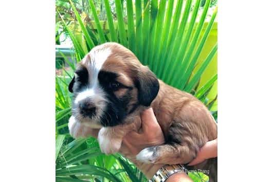 Süße Tibet Terrier
