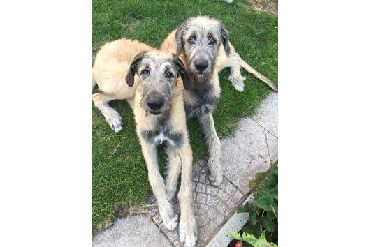 2 Irish Wolfhound