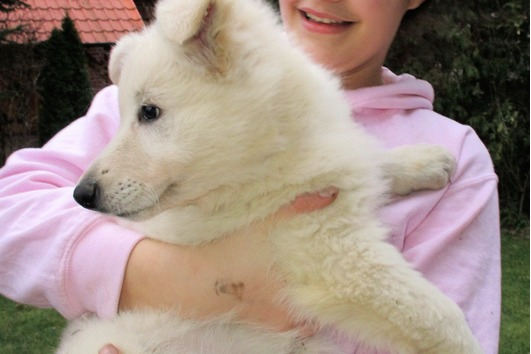 Weiße Schweizer Schäferhund
